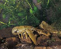 Atlantic Stream Crayfish (Austropotamobius pallipes)