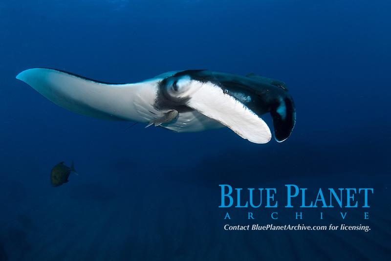 Giant giant oceanic manta ray, Mobula birostris, formerly Manta birostris, San Benedicto Island Revillagigedo archipelago, Pacific ocean, Mexico