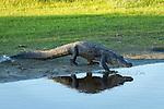 American Alligator walks back into the Myakka River
