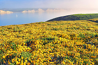 Calm waters of Drakes Bay with sailboat and Goldenfields wildflowers (Lathenia californica). Point Reyes National Seashore. California