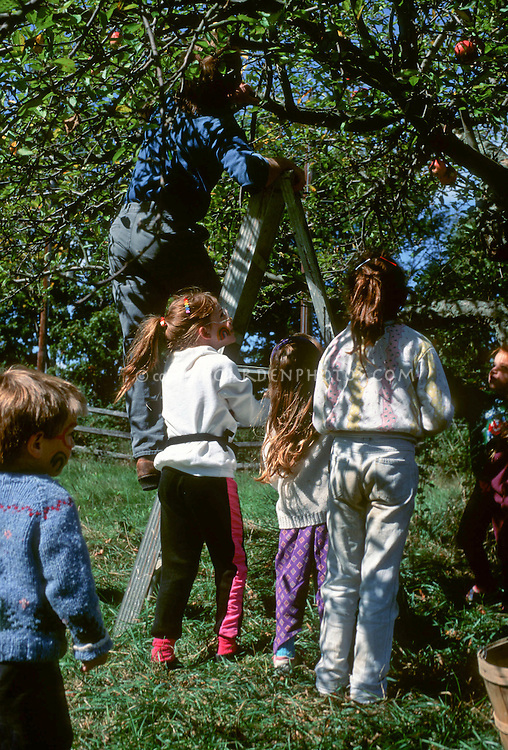 Apple Picking on Ladder under Tree, Kids, Community Supported Agriculture in fall