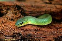 1R04-025z   Smooth Green Snake - Opheodrys vernalis