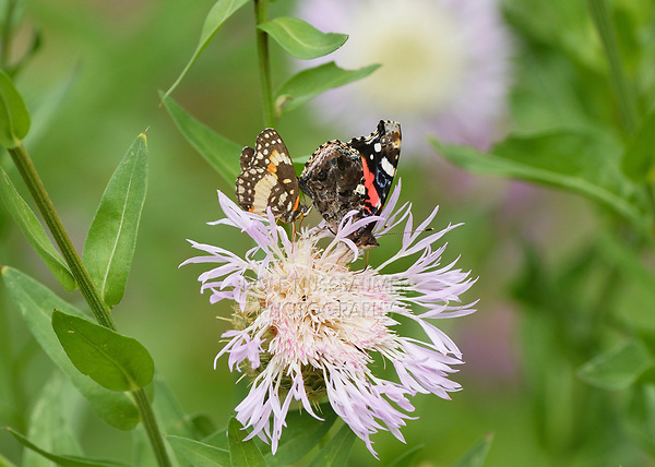 Red Admiral (Vanessa atalanta), adult and Bordered Patch (Chlosyne lacinia) feeding from American basket-flower (Centaurea americana), Hill Country, Central Texas, USA