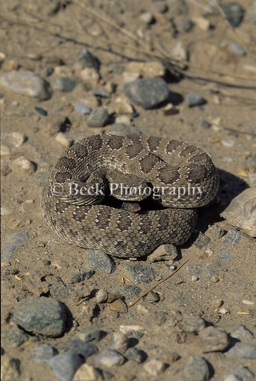 Montana Rattlesnake