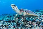 Rangiroa Atoll, Tuamotu Archipelago, French Polynesia; a hawksbill sea turtle swimming over the coral reef