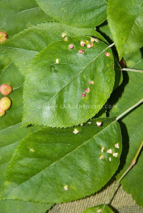 Plant problem disease pest LEAF GALL on leaves, round masses, closeup macro