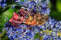 On a Ceanothus flower, a crab spider (Thomisus onustus) traps a pollen-gathering bee in a thread of its web and unhurriedly consumes it.