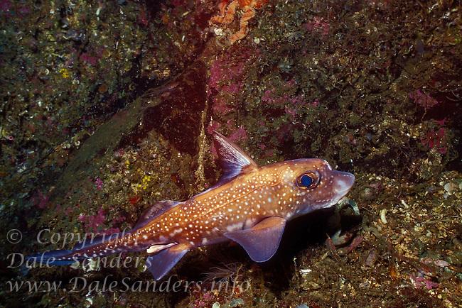 Ratfish (Hydrolagus collie) or Chimaera, Barkley Sound , British Columbia, Canada.