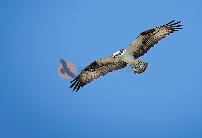 Osprey soaring against bright blue sky, looking at ground hunting