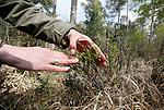 Foto: VidiPhoto<br /> <br /> LOENEN – Bos en hei op de Loenermark bij Loenen. Het Veluwse natuurgebied heeft net als de rest van de Veluwe veel last van verzuring en vermesting, veroorzaakt door een teveel aan stikstofneerslag. Gevolg is dat planten afsterven, insecten verdwijnen en eikenbomen dood gaan. Op een aantal plekken op de Veluwe is 90 procent van de eiken al afgestorven.<br /> Foto: Een 'vergraste' rode-bosbessenstruik.