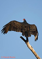 1107-0809  Turkey Vulture, Resting on Branch Spreading it's Wings, Cathartes aura © David Kuhn/Dwight Kuhn Photography.