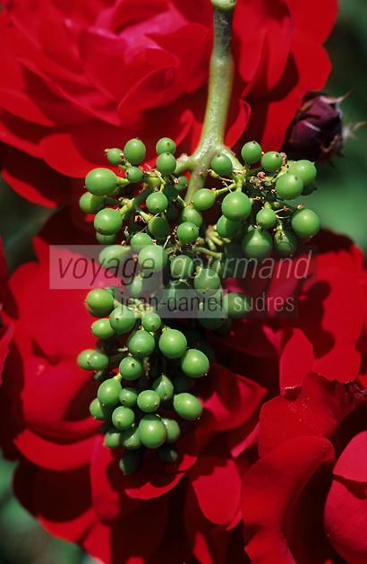 Europe/France/Champagne-Ardenne/51/Marne/Parc Naturel Régional de la Montagne de Reims/Chigny-les-Roses: Vignoble champenois - Rosiers au début des rangs de vigne - Rose et grappe de raisin - Fin de floraison de la grappe de raisin