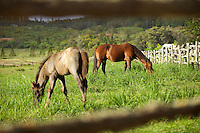 Two horses grazing in a pasture at Four Seasons Resort Lana'i at Manele Bay, Lana'i.