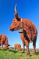 France, Cantal (15), Saint-Hippolyte, vaches de race Salers // France, Cantal, Parc Naturel Regional des Volcans d'Auvergne (Auvergne Volcanoes Natural Park), St Hippolyte, purebred cows Salers
