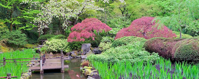 Koi pond and cherry blossoms. Portland Japanese Gardens, Oregon