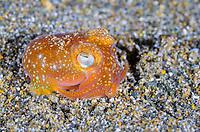 tropical bottletail squid, Koch's bottletail squid, Sepiadarium kochi, Anilao, Batangas, Philippines, Pacific Ocean