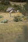 Darwin's or Lesser Rhea (Ptercnemia pennata). Torres del Paine National Park, Chilean Patagonia, Chile.
