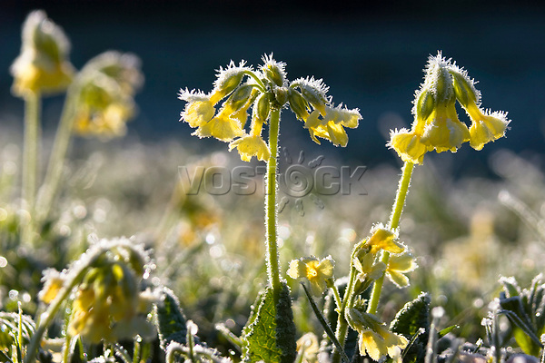 Primrose on meadow, Primula elatior, whitefrost, Upper Bavaria, Germany