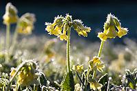 Primrose on meadow, Primula elatior, whitefrost, Upper Bavaria, Germany