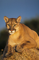 Cougar, Mountain lion (Puma concolor), adult sitting on rock, captive, USA
