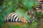 Bengal tiger (Panthera tigris); 16 months old cub cooling off in creek during dry season in April, India, Bandhavgarh National Park