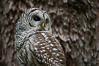 Barred Owl (Strix varia). King County, Washington. May.