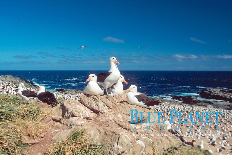 black-browed albatrosses, Thalassarche melanophris, Steeple Jason Island, Falkland Islands, British Overseas Territories, United Kingdom, South Atlantic