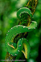 Emerald Tree Boa (Corallus caninus), coiled on a liana, lowland tropical rainforest along the Tuichi River, Madidi National Park, Bolivia.