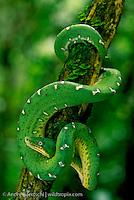 Emerald Tree Boa (Corallus caninus), coiled on a liana, lowland tropical rainforest along the Tuichi River, Madidi National Park, Bolivia.