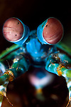 Peacock Mantis shrimp, Smasher Mantis Shrimp, Odontodactylus scyallarus, Basura dive site, Anilao, Batangas, Philippines, Pacific Ocean