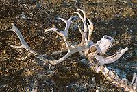 Skull of a bull Svalbard reindeer, Rangifer tarandus platyrhynchus, that died with his antlers entangled in stock fence. Svalbard, Norway, Arctic