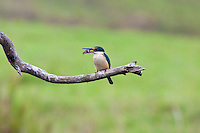Sacred Kingfisher w crab in rain, Daintree River, Queensland, Australia
