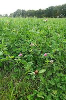 Treffle, pourvoyeur naturel d'azote, utilise en fourrage