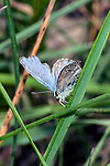 karner blue butterfly male sitting on grass in pine barren face view, concord, new hampshire, vertical
