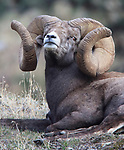 New World Record Bighorn Sheep