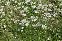 Wilde Möhre, Möhre, Daucus carota, Daucus carota subsp. carota, Wild Carrot, bird's nest, bishop's lace, Queen Anne's lace