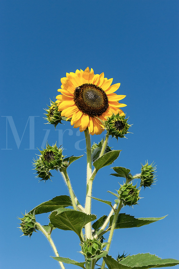 Outstanding sunflower.
