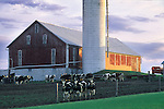 Barn with dairy cows in springtime, Union County, Pennsylvania