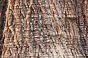 Trunk and bark of sweet chestnut (Castanea sativa).