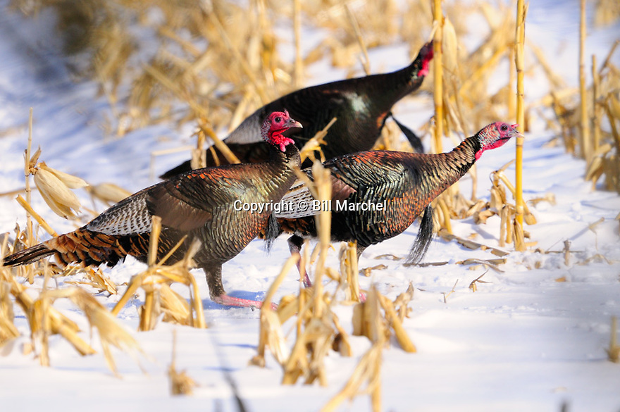 01225-113.01 Wild Turkey: Three adult toms are in picked cornfield during late winter.  Food, feed, survive, agriculture.