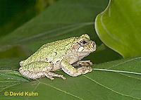 "0916-07zz  Gray Tree Frog - Hyla versicolor ""Virginia"" © David Kuhn/Dwight Kuhn Photography"