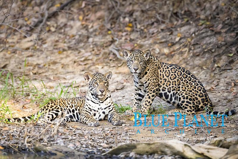 Jaguars (Panthera onca palustris), two juveniles resting on riverbank, Mato Grosso, Brazil, South America