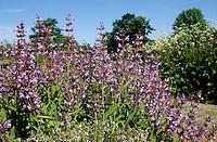 Echter Salbei, Garten-Salbei, Küchensalbei, Heilsalbei, Salvia officinalis, Common Sage, Garden sage