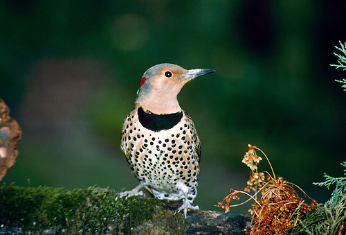 Female flicker, Colaptes auratus, woodpecker perches on branch, Missouri