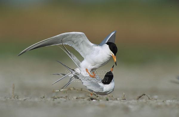 Forster's Tern, Sterna forsteri, pair mating, Welder Wildlife Refuge, Sinton, Texas, USA