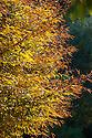 Autumn foliage of Fern-leaved beech (Fagus sylvatica var. heterophylla), early November.