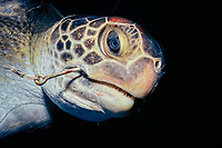 bycatch of longline shark fishing for shark fins - live East Pacific green black sea turtle, Chelonia mydas agassasi, hooked on a longline fishing hook, Cocos Island, 320 miles off the coast of Costa Rica, Pacific Ocean