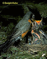 RO03-014z   American Robin - adult feeding young birds at nest - Turdus migratorius