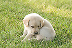 Yellow Labrador retriever (AKC) puppy biting his tail
