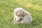 Yellow Labrador retriever (AKC) puppy biting his tail